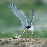 海上精灵 白额燕鸥