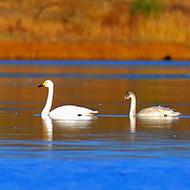 湖光晨色映天鹅