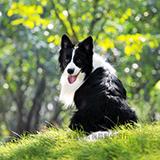 边境牧羊犬