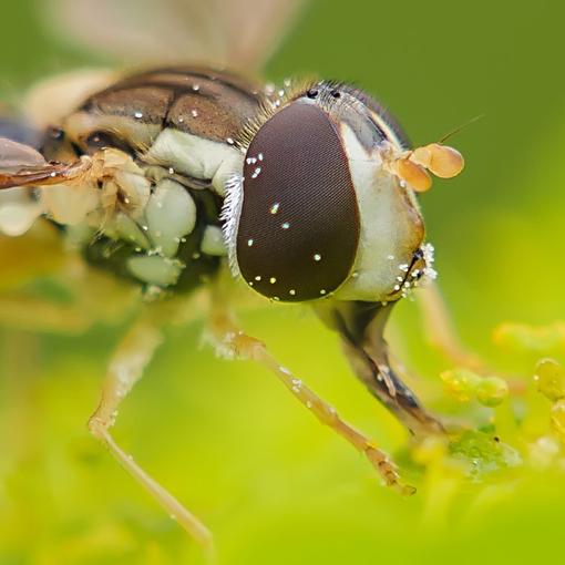 采花粉的食蚜蝇