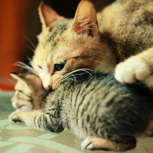 大猫生小猫