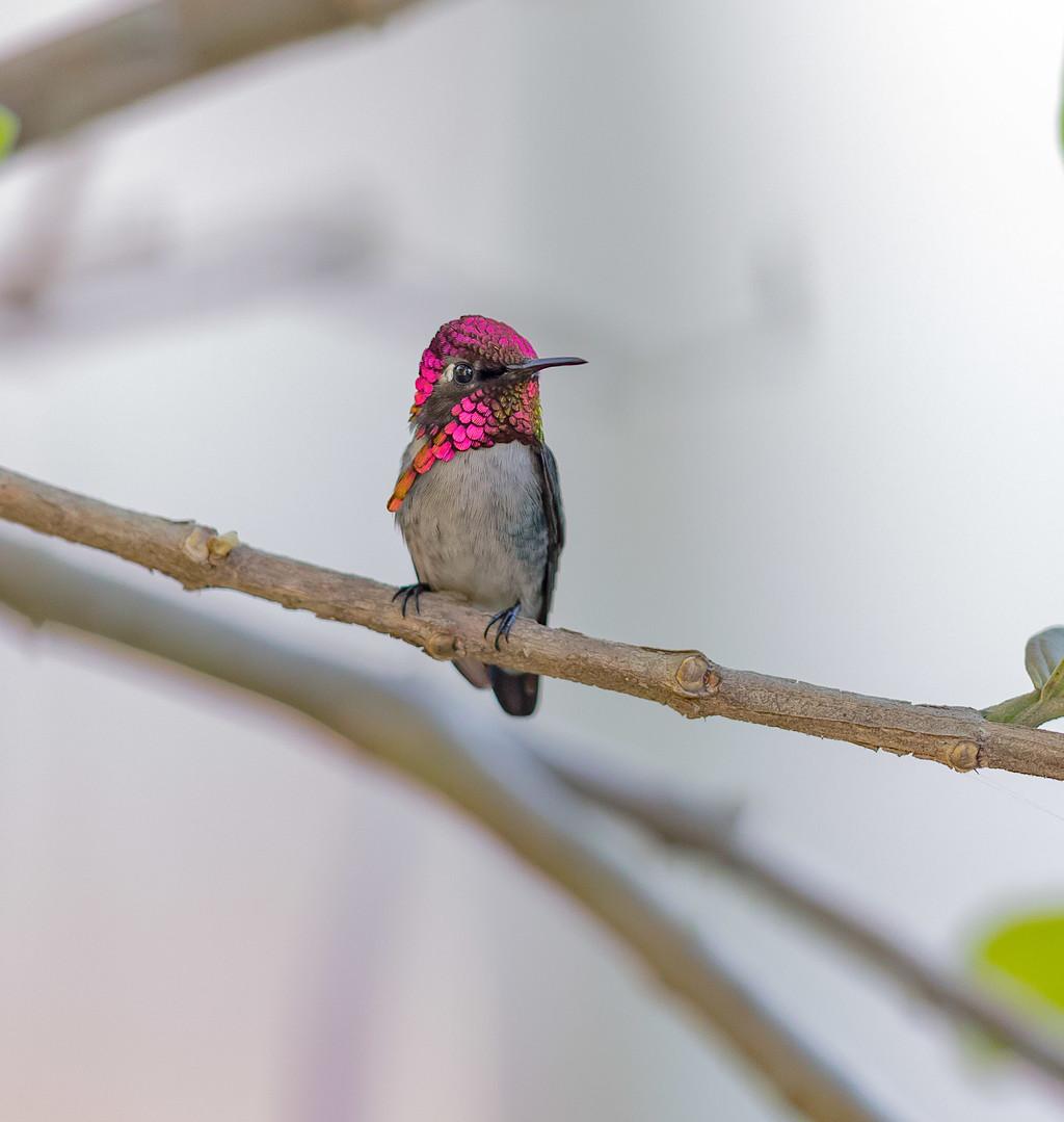 人家超可爱,世界最小蜂鸟
