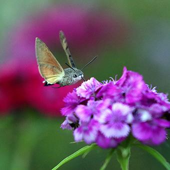 我是一只小小蜂鸟蛾