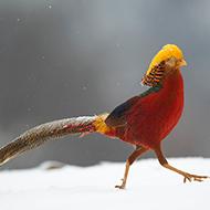 大雪中的红腹锦鸡
