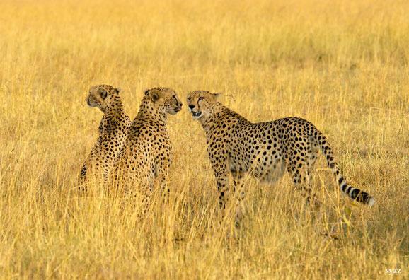 肯尼亚动物大迁徙 见证生命的奇迹时刻