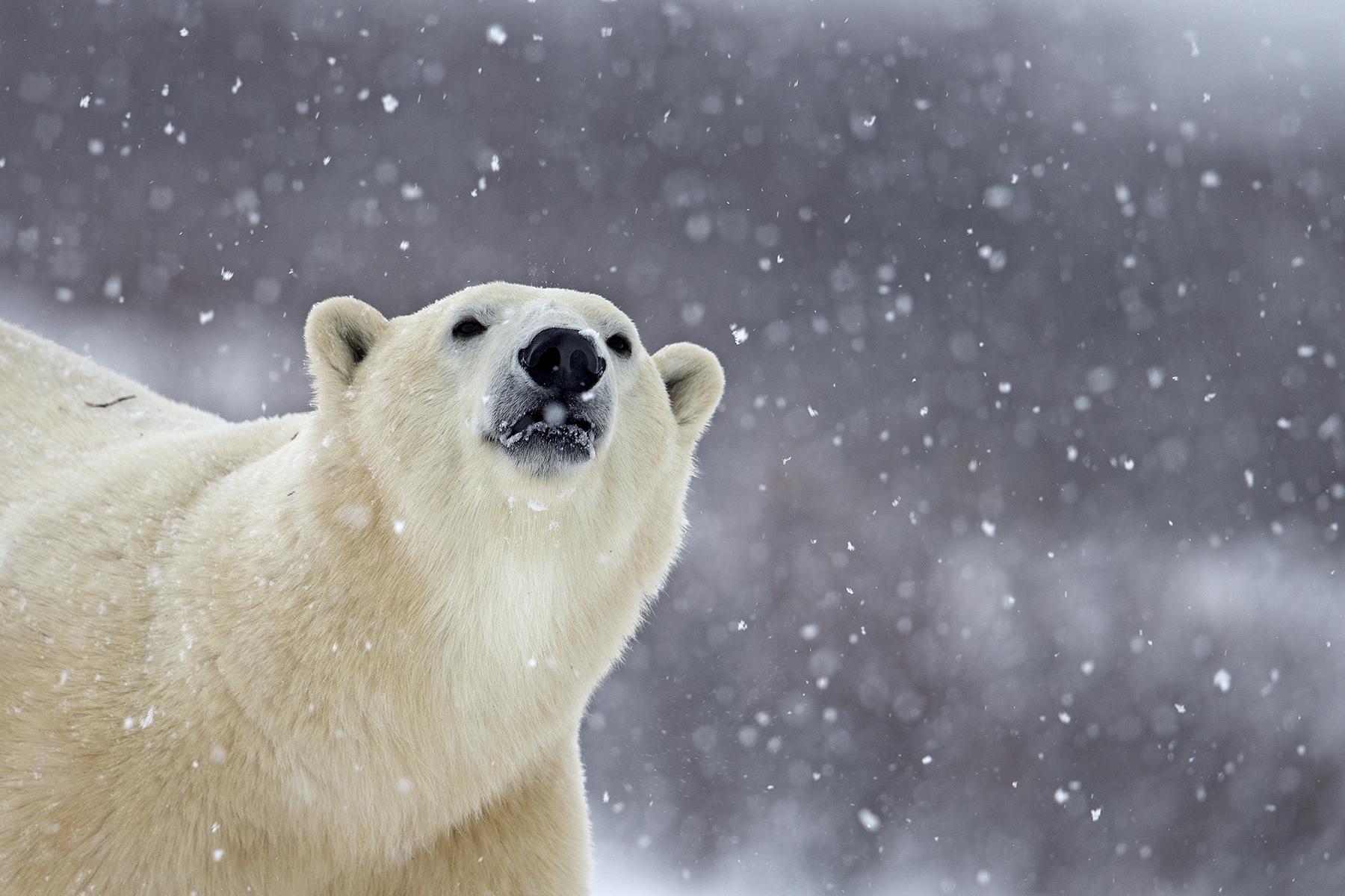 2016北京国际摄影周 北极熊出没的地方_大师作品-蜂鸟