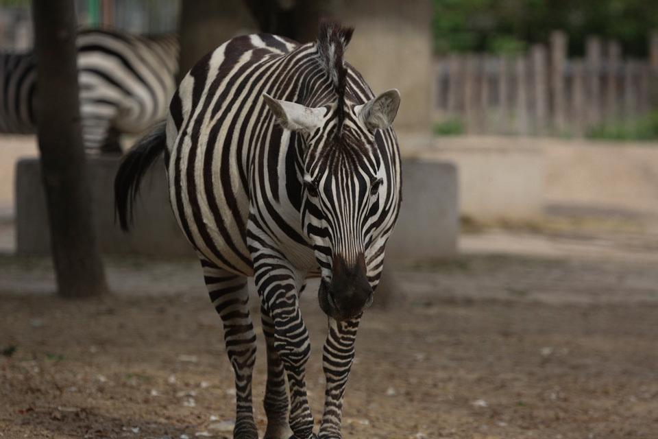 在动物园拍摄斑马,照片正常曝光或者稍微曝光不足的
