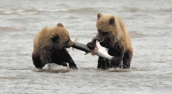 英摄影师捕捉野生小棕熊合力捕鱼瞬间