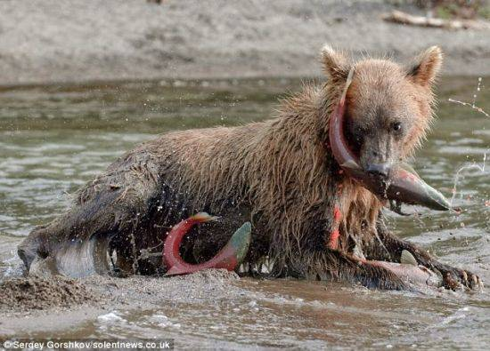 摄影师冒险近距离拍摄熊抓大马哈鱼照片(组图)