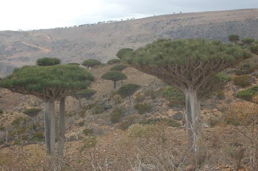 岛上的龙血树